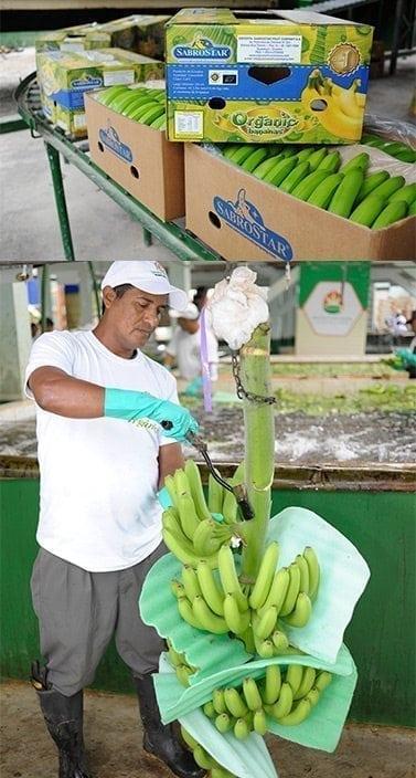 Banano Organico Sabrostar