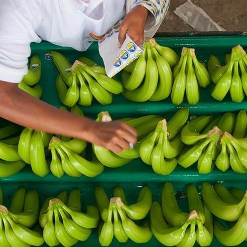 Banano Sabrostar