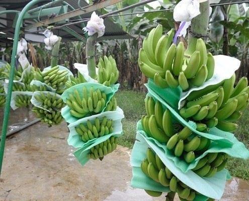 Sabrostar | Banano Orgánico